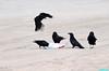 ThanksForBringingLunch (mcshots) Tags: california usa bird beach birds trash neck coast losangeles stock flight strangle socal plasticbag crow mcshots twisted