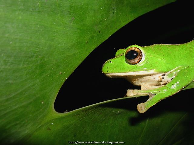 小莫蛙 雌