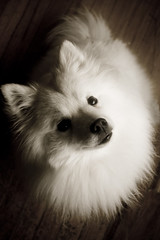 16/52 the class act (RileyMai) Tags: pippin spitz americaneskimo eskie 52weeksfordogs