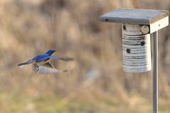Bluebird House Hunting DSC_1692