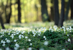 shades of green (Youronas) Tags: wood flowers sunlight green forest germany deutschland spring dof bokeh blossoms blumen franconia greens franken wald frhling buschwindrschen anemonenemorosa woodanemones sigma3014 canon7d
