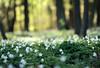 shades of green (Youronas) Tags: wood flowers sunlight green forest germany deutschland spring dof bokeh blossoms blumen franconia greens franken wald frühling buschwindröschen anemonenemorosa woodanemones sigma3014 canon7d