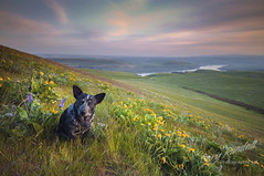 Creative Director (Gary Randall) Tags: sunset dog washington betty australiancattledog acd columbiarivergorge garyrandall dsc58502