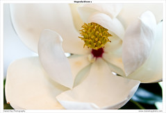Magnolia Bloom 1