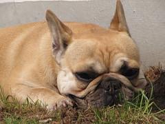 ich lausche (FotoFrohsinn) Tags: gesicht grau bulldog hund gras grn frontal makro bully haustier nase tier niedlich hauswand molosser hellbraun familienhund franzsichebulldogge
