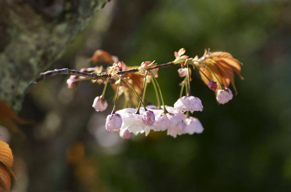 Cherry Blossom 142