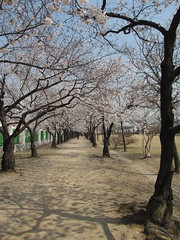 Cherry Blossom Festival-Daejeon-South Korea (mikemellinger) Tags: flowers nature beauty festival cherry landscape scenery asia blossom bloom southkorea daejeon taejon sintanjin taejeon