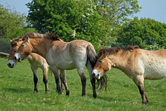 Przewalski horses at Port Lympne wild animal park in kent (Daves Portfolio) Tags: horse animals kent african safari safaripark equus wildanimals przewalski portlympne wildlifeexperience aspinall przewalskii