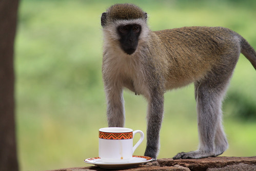 Trinken Affen Kaffee?