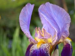 Iris (tanakawho) Tags: plant flower green nature yellow bush dof purple bokeh petal stamen mauve germaniris tanakawho