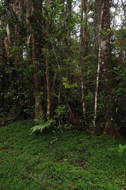 spectabilis habitat