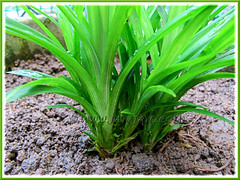 Propagating Pandanus amaryllifolius (Fragrant Pandan): a cluster of aerial plantlets planted in soil, shot April 3 2010