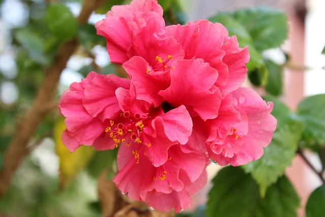 Hibiscus- Bunga Raya