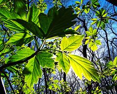 backlit leaf (jonapierce) Tags: statepark park light tree green nature outdoors leaf sunny springbrook