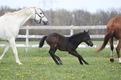 eek (thinktank8326) Tags: horse foal filly warmblood trakehner holsteiner bay grey gray field play grass dandelion pasture halter hover color digital canonrebelt1i run shy spook mare kremeroyale flickr thinktank8326 pearl lacedinsilver lacy leica