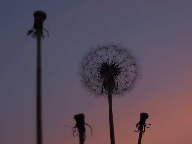 Dandelion in Sunset