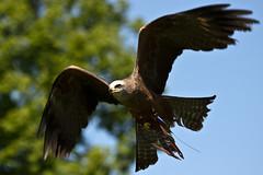 Black Kite (Jon Pinder) Tags: bird canon wings eyes head feathers hospice blackkite wakefield prey 70300mm gala talons eos7d