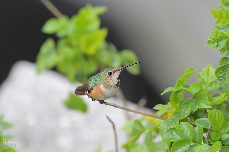Allen's Hummingbird 042411