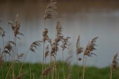 Blacktoft Reeds (GemElle Photography) Tags: green wow garden amazing cool nikon natural elle sands gem blacktoft d3100 gemelle1