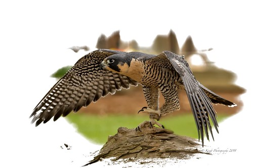 Peregrine Falcon by denakraft