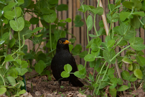 Blackbird and peas