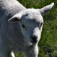 vegetarian advert (nondesigner59) Tags: cute wool nature closeup sweet vegetarian lamb creature cause righttolife babysheep eos50d nondesigner nd59 mothernaturesgreenearth