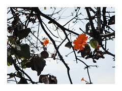 Cupapé Flower (®gr) Tags: city sky naturaleza flower color tree verde sol nature beautiful leaves clouds mexico flora outdoor flor roots dia cielo nubes naranja chiapas ramas fruto tuxtlagutiérrez rbol