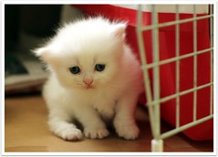 BBye Khadrah (Debbini) Tags: pet white cat canon eos persian kitten 500d crossbreed khadra