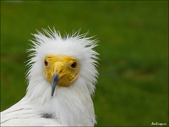 237-El despeinado. (Ambrispuri) Tags: portrait white bird blanco look yellow europa retrato feathers peak amarillo raptor pico vulture pajaro mirada claws scavenger