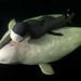 White whale_8