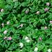 Anemone nemorosa, pink hvitveis