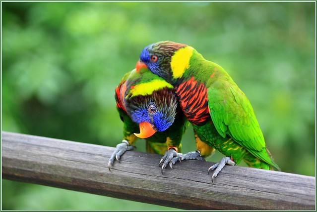 Rainbow Loriket