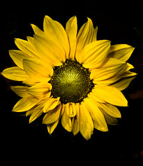 Sunflower (CWhatPhotos) Tags: pictures camera shadow summer sun plant black flower green art yellow digital canon that petals foto bright image artistic pics background picture pic images petal have fotos sunflower which contain compact s90 onblack cwhatphotos
