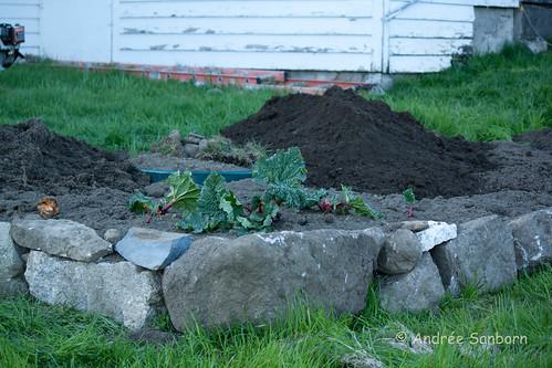 New rhubarb bed-2.jpg