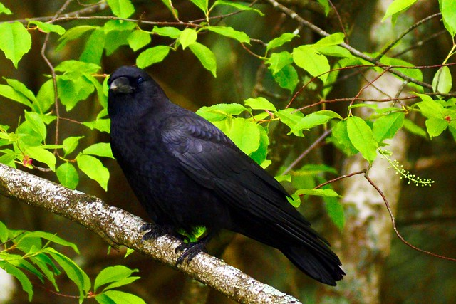 hudson crow 2