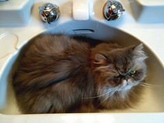 There is a cat in the sink (Geoff Valentine) Tags: cute cat persian sink kitty patty lav