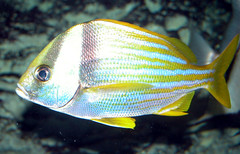 Adult porkfish