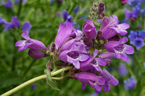 penstemon cobaea