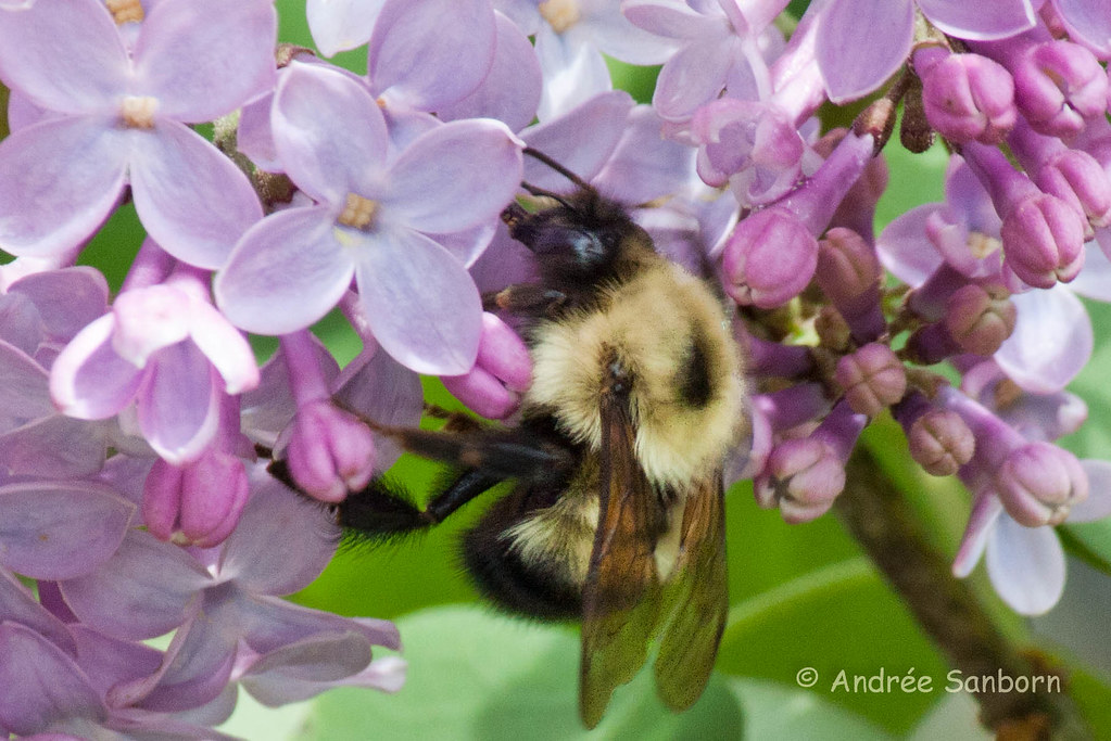 Bumblebee on Lilacs-2.jpg