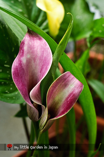 blooming-calla-lily-2