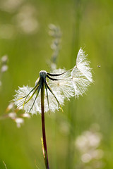 Common Dandelion (Marcin Nurek) Tags: flowers summer sun flower macro canon bug fly is flight dandelion 7d usm common 100400mm taraxacum marcin 400mm taraxacumofficinale officinale llens 100400 commondandelion nurek canon7d nurkov