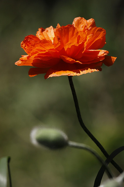 poppy bloom 3