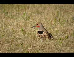 Northern Flicker (JSB PHOTOGRAPHS) Tags: bird oregon nikon flickr ground springfield woodpeckers nikkor northern 70300mm flicker d90 foragers