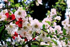 思いのまま (punipuki) Tags: flower japan tokyo sigma floralappreciation dp2s