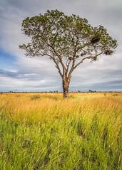 The green, green grass of home (Sheldrickfalls) Tags: s37 krugerlandscape trichardtroad krugernationalpark kruger krugerpark mpumalanga southafrica