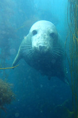 we met nose to nose (richie rocket) Tags: scillies seasearch scillyisles cornwall uk underwater scuba diving