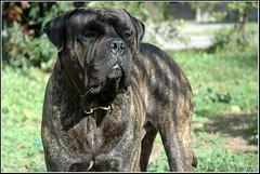 Dog, Bullmastiff - כלב, בולמסטיף