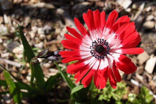 Anemone: A red anemone flower with a white centre and very narrow petals