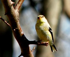 American Goldfinch (Adventurer Dustin Holmes) Tags: bird birds animals midwest wildlife goldfinch aves finch finches missouri ozarks birdwatching americangoldfinch goldfinches fringillidae northamerican passeriformes chordata finchs wildcanary americangoldfinches easterngoldfinch goldfinchs spinustristis granivore wildcanaries americangoldfinchs