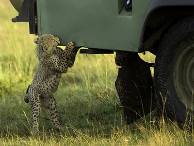 animals_attacking_cars_14